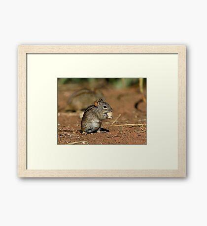 Striped Grass Mouse (Rhabdomys pumilio) Framed Print