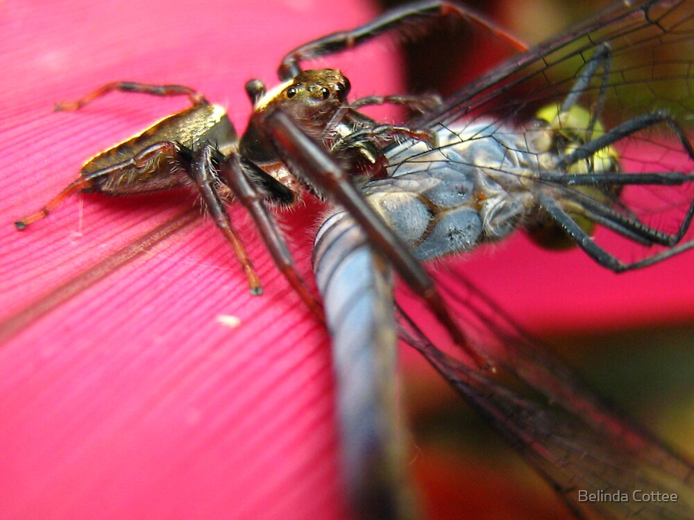 hungry spider2 by Belinda Cottee