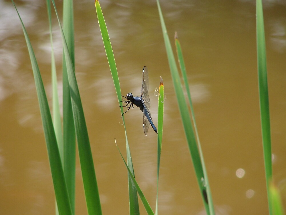 Dragonfly at the Minnow Pond by inventor