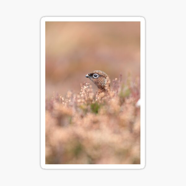 Female Red Grouse Sticker