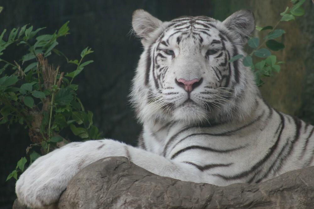 Rare White Tiger by Beaner