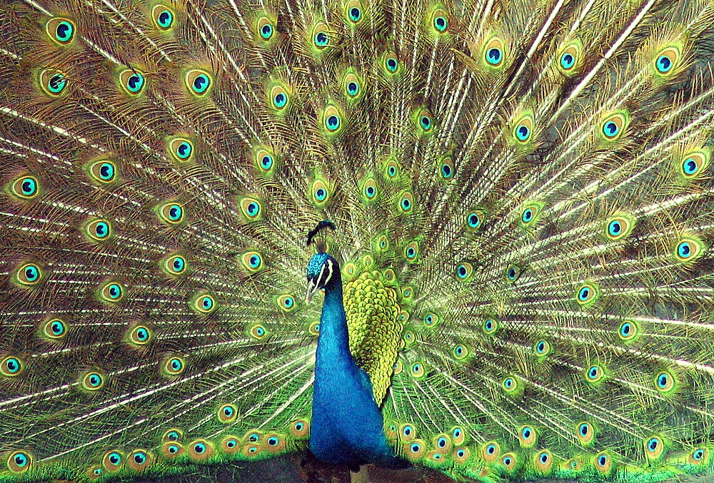 peacock in His Glory by Beaner