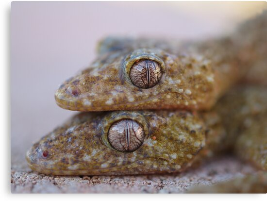 Broad Tailed Gecko Australia by Steve Bullock