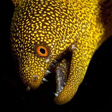Abbott's moray eel by stetner