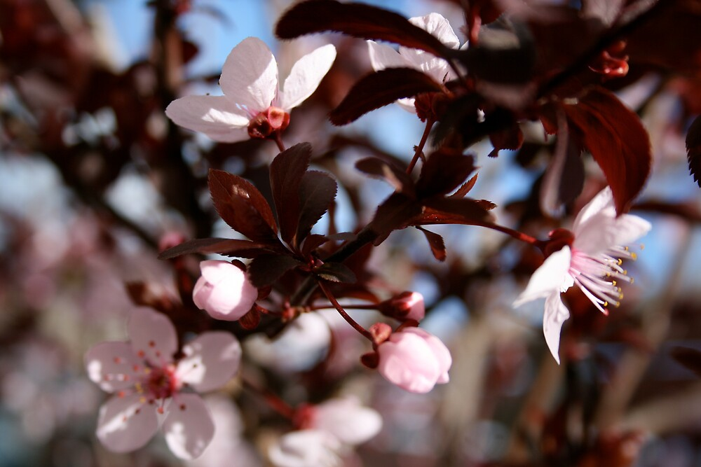flowering plum by deecee