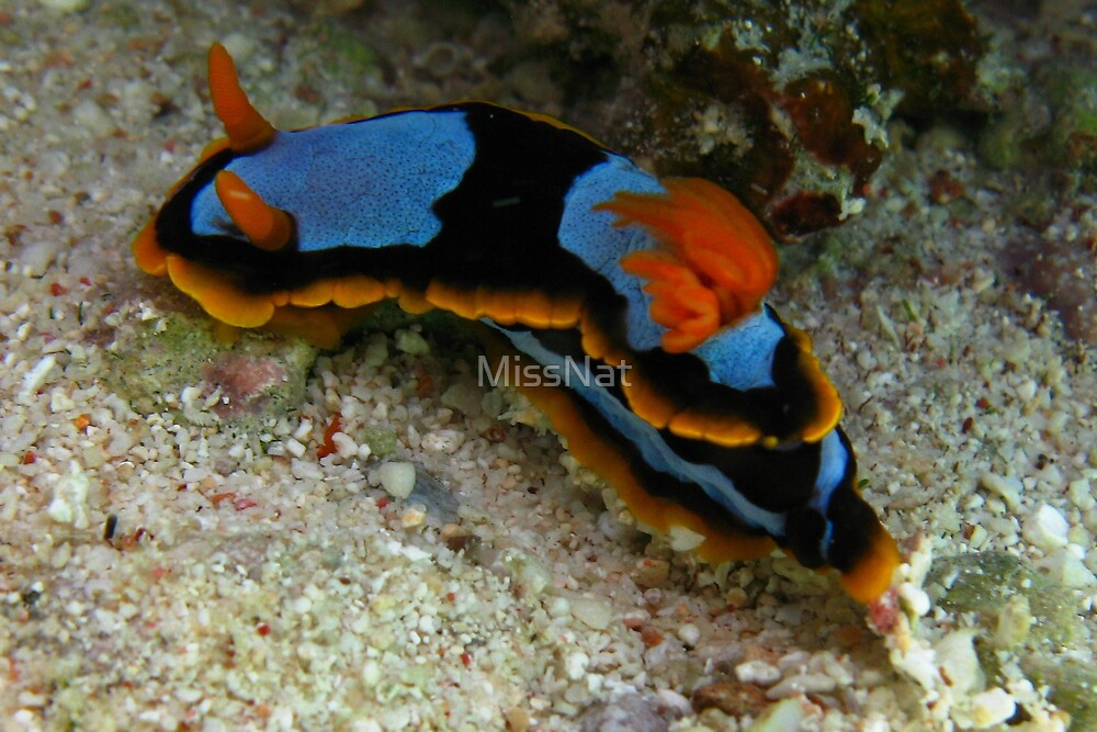 Nudibranch by MissNat