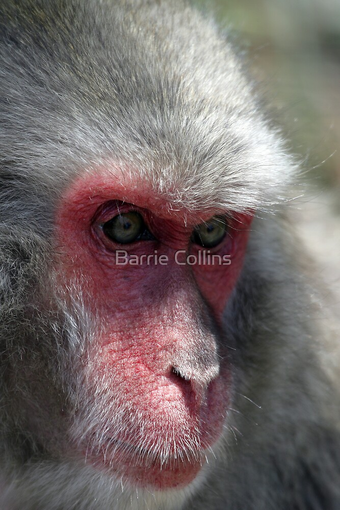 Snow Monkey by Barrie Collins