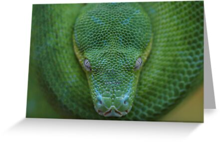 Peace - Green Tree Python by Steve Bullock