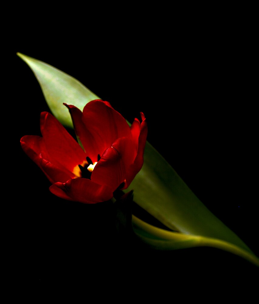 Solitary Red Tulip by Swede