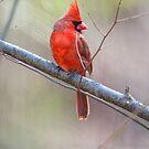 Northern Cardinal  Male - Cardinalis cardinalis by MotherNature