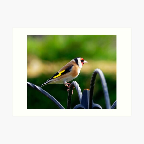 Profile of a Goldfinch Art Print