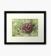 Pine close-up Framed Print