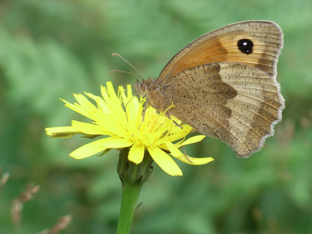 Meadow Brown Butterfly by winterhare