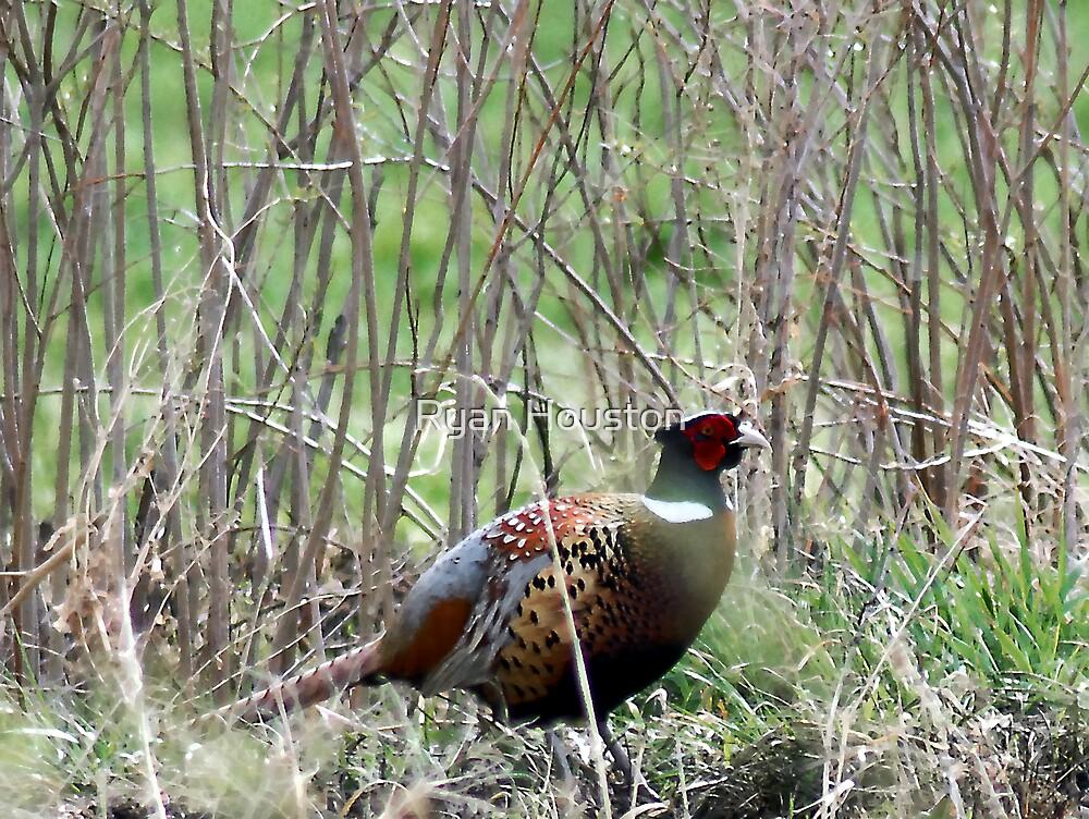 Spring Pheasant by Ryan Houston