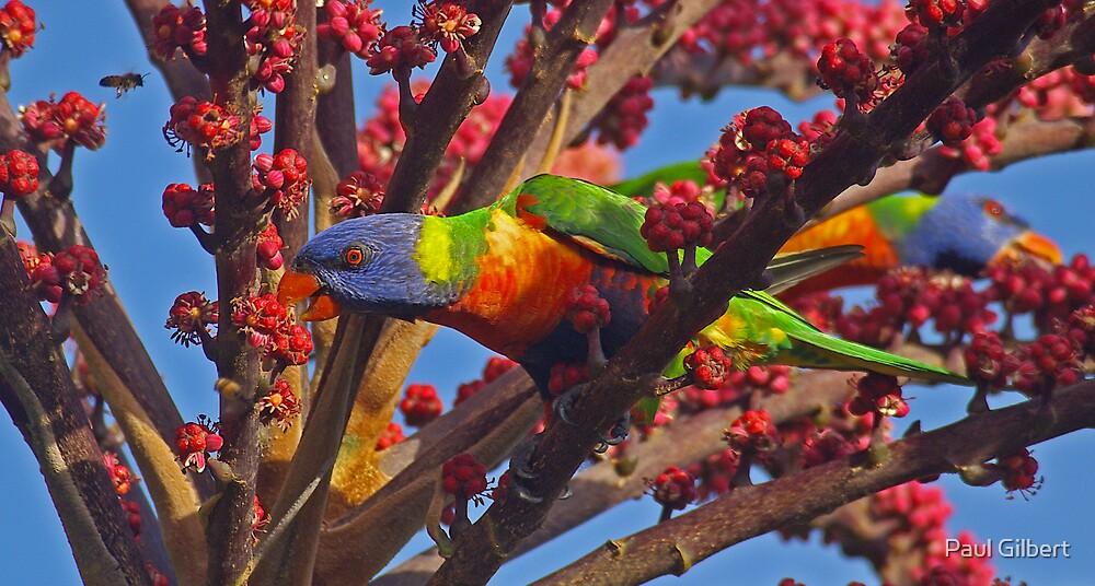 Rainbow Lorakeet by Paul Gilbert