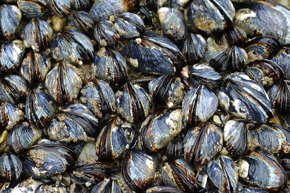 Mussels  by Ray Rozelle