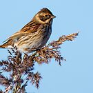 Reed Bunting by Alan Forder