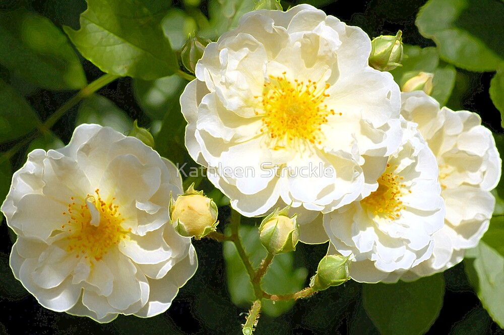 White Ruffles by Kathleen Struckle