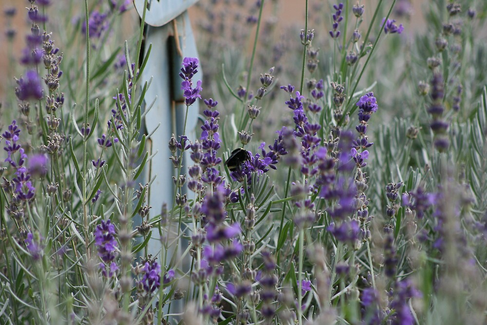 Lavender Paradise by Ashley Thomas