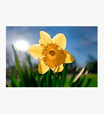 Yellow Daffodil Photographic Print