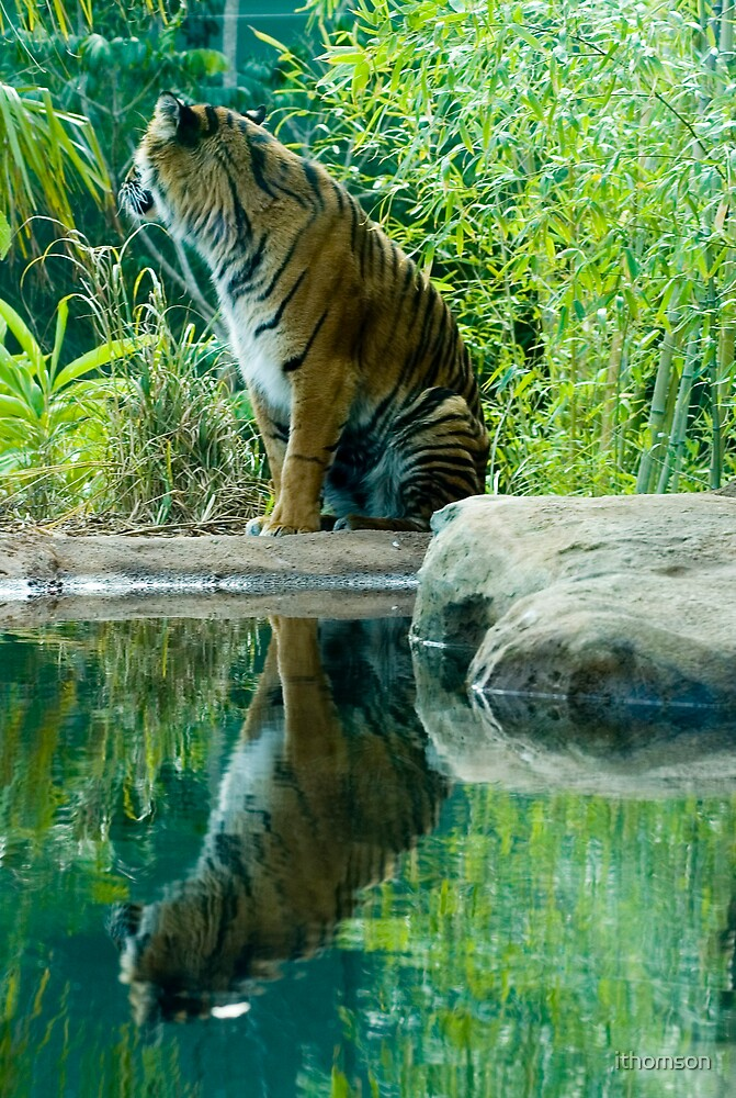 Tiger Reflection by ithomson