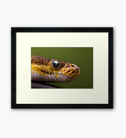 Timor Python Framed Print