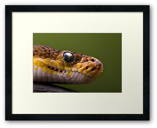 Timor Python by Frank Yuwono