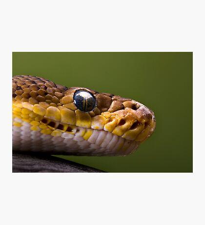 Timor Python Photographic Print