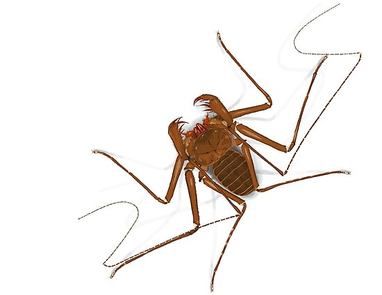 Amblypygi - Charinus israelensis - whip spider - tailless whip scorpion by the vexed  muddler