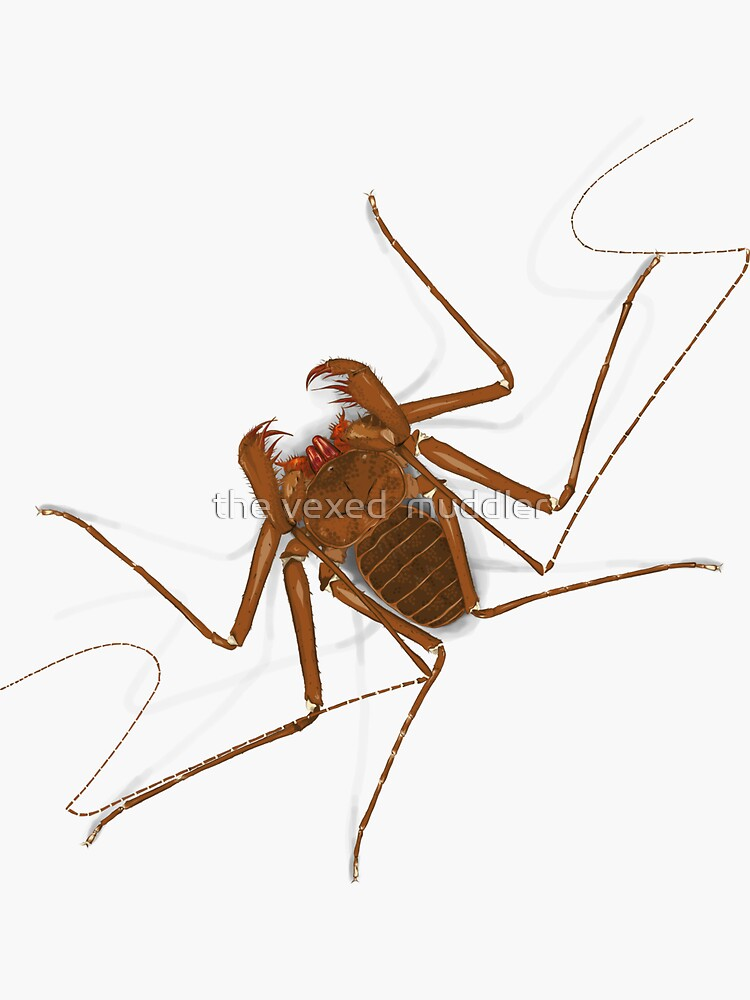 Amblypygi - Charinus israelensis - whip spider - tailless whip scorpion by thevexedmuddler