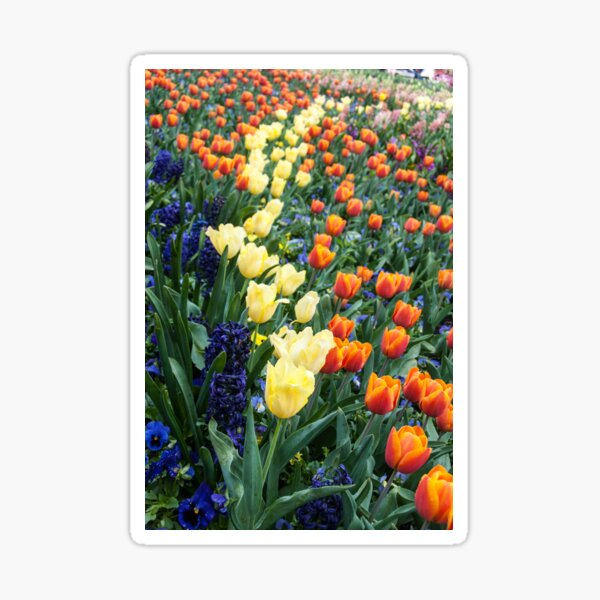Colourful tulips and hyacinths Sticker