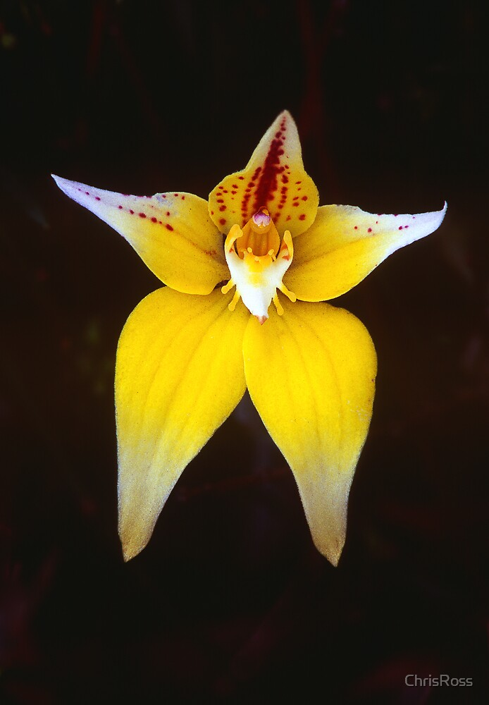 Cowslip Orchid by ChrisRoss