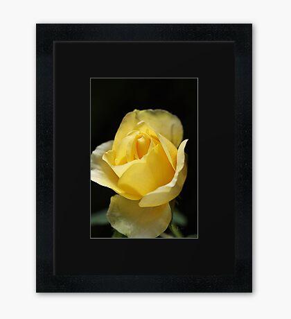 Beautiful Yellow Unfolding Rose Framed Print