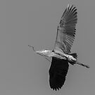 Great Blue Heron 2017-2 by Thomas Young