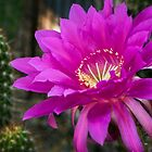 Echinopsis in Hot Pink by Saija  Lehtonen