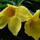 Yellow Allamanda by Virginia McGowan