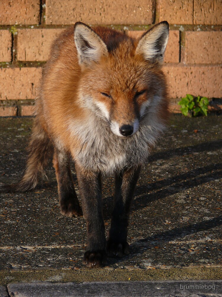 Urban Fox Close Up by brummieboy