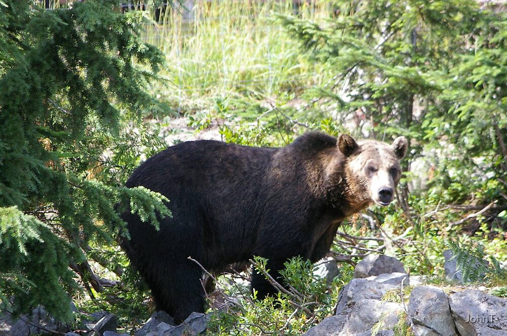 Grizzly Bear by JohnT