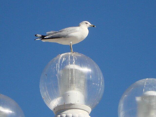 Seagull Portrait by Dario  da Silva