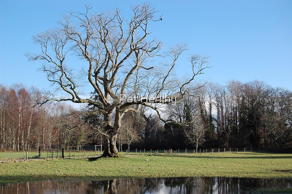 Tree in Winter by Pat Herlihy