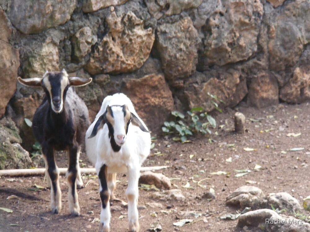 Baby Goats by Rachel Mars
