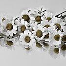Flor de manzanilla ..... by cieloverde