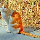 Orange Tabby Kitty Cat by K D Graves Photography