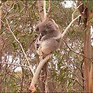 Koala by sorkie