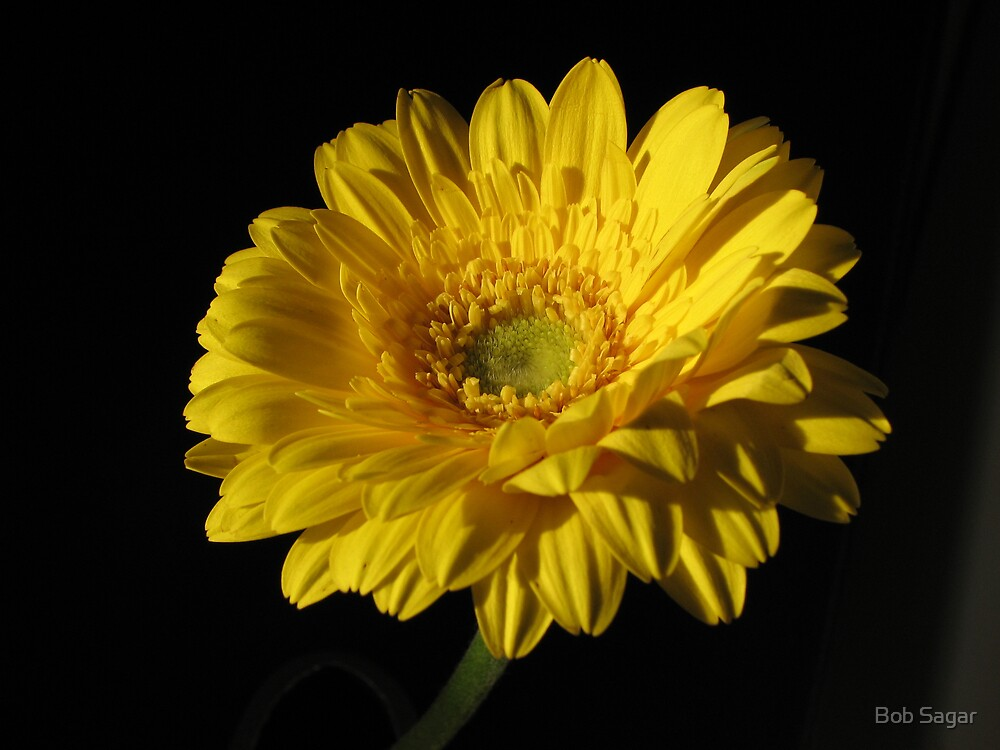 Gebera Yellow by Bob Sagar