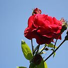 Red Roses with Blue Sky Background by taiche