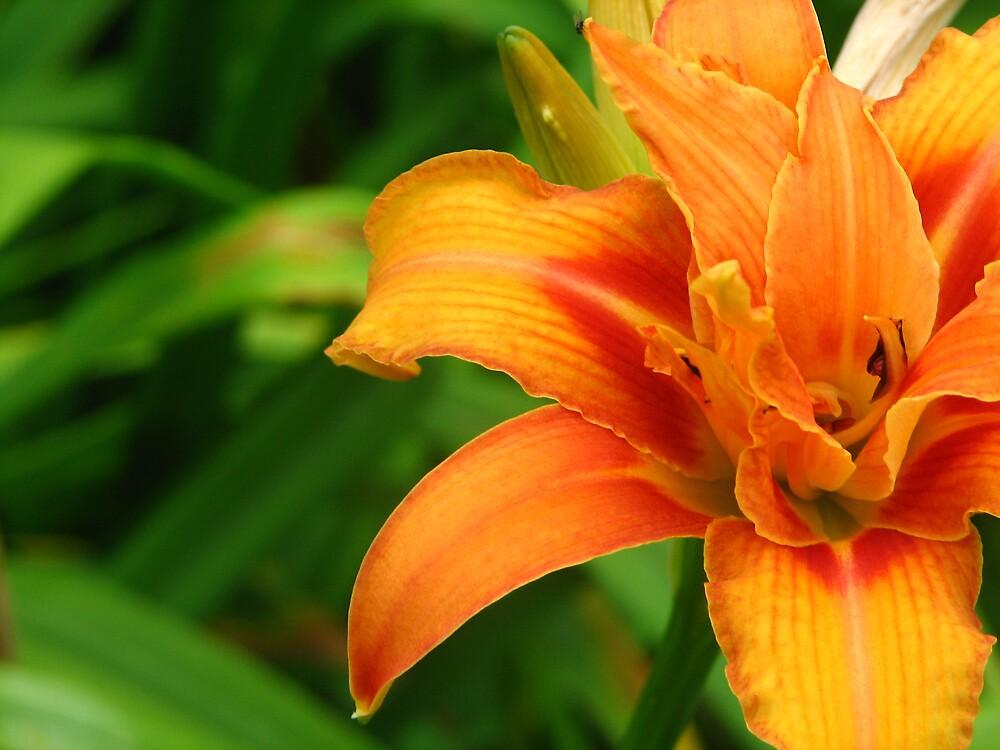 Orange Lily by Lauren Carr