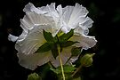 Rose of Sharon #5 (White Chiffon Hibiscus) by Elaine Teague