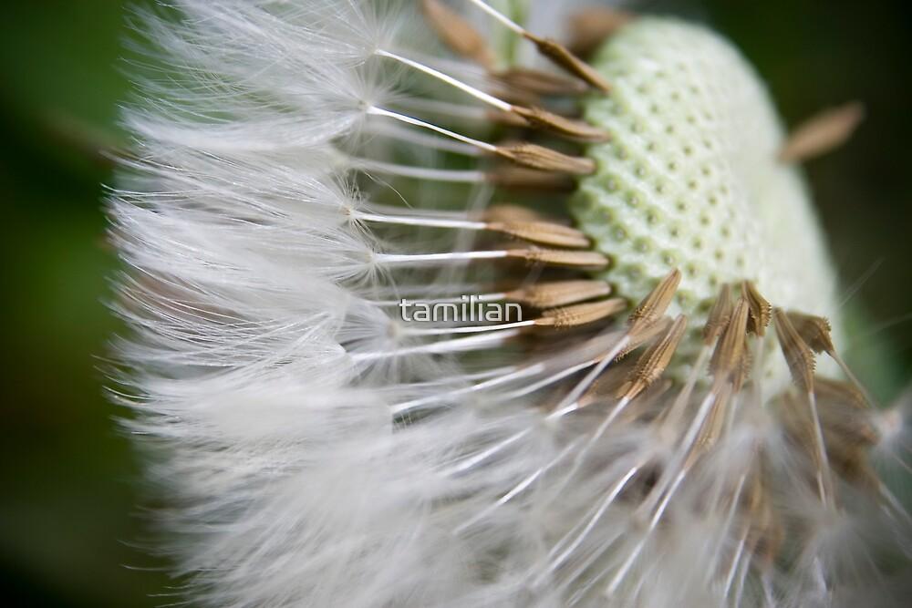 Dandelions seed by tamilian