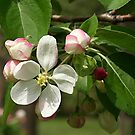 Crab Apple Blossom by Stephen Thomas